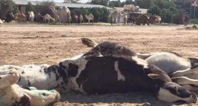 خطير:الحمى القلاعية تضرب الجزائر (بلد الأوبئة والقحط  والإرهاب وكل مصائب الدنيا)